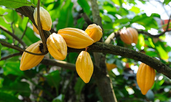 Chocolate futures: Sustainable cocoa production