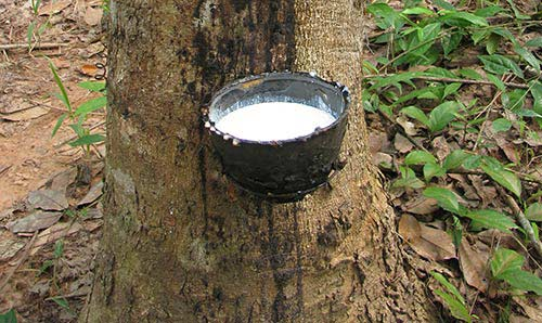 African tree with bowl attached collecting sap